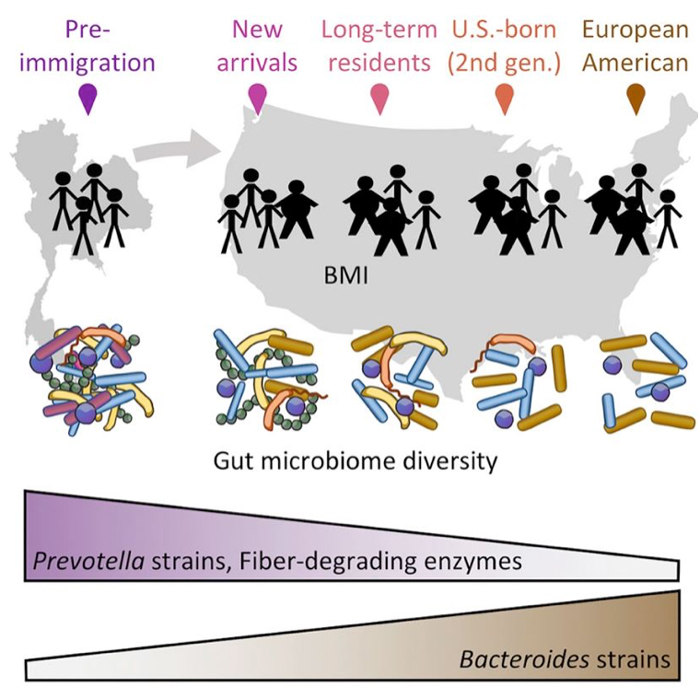 effets-immigration-microbiote-obesite